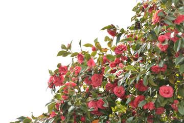 椿の花 白バック