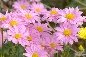 Close up picture of beautiful pink flowers. Cluster of flower in the flower garden. Sweet and beauty in the nature.