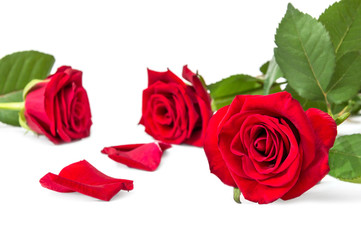 Red roses with petal on a white. Greeting card.