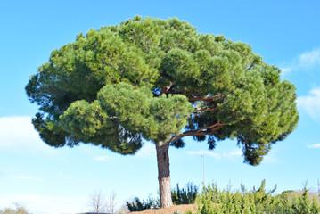 Pino en parque público de Barcelona