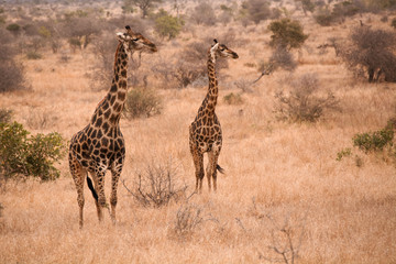 Two African Giraffe staring intently into the dry winter growth alert to possible predators