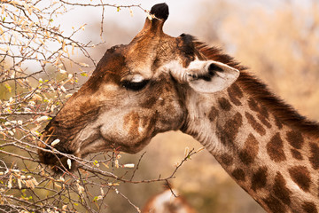 African Giraffe feeding on a Akasia tree in the dry winter months