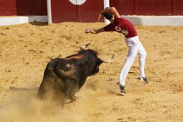 Competición con toros bravos en España. Esta competición es una forma de la tauromaquia donde la gente usa su propio cuerpo para torear.