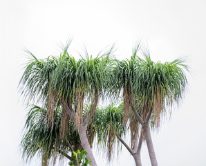 Ponytail Palm (Nolina recurvata, Beaucarnea recurvata) blooming in the garden