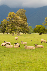 Fram sheep over glass field with mountain background, New Zealand natural landscape background