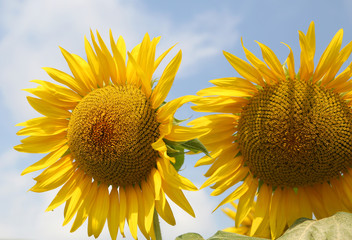 two huge sunflowers with yellow petals in the field of flowers in summer