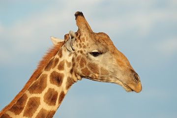 Portrait of a giraffe (Giraffa camelopardalis) against a blue sky, South Africa