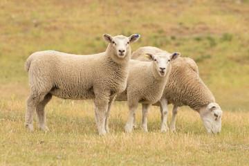 Cute sheep on glass field, farm animal New Zealand