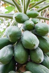 Bunch of green papayas on tree