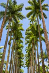 Avenue of tall royal palm trees soar into bright blue tropical sky in Rio de Janeiro, Brazil