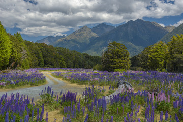 Russle Lupines at milfordsound