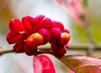 Ripe berries or seeds on a Spindle Tree (Euonymus europaeus), West Sussex, England, UK.