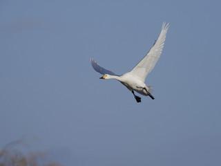 Fotoväggar - Bewicks swan, Cygnus bewickii