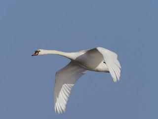 Fotoväggar - Mute swan, Cygnus olor