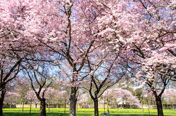 Wall Mural - Japanische Kirschblüten, Glückwunsch, Lebensfreude, Glück, Auszeit,  Frühlingserwachen, alles Liebe: Verträumte zarte Kirschblüten vor blauem Frühlingshimmel :)