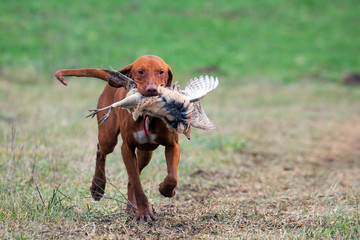 Fotorollo Jagd Hungarian vizsla and pheasant hunting