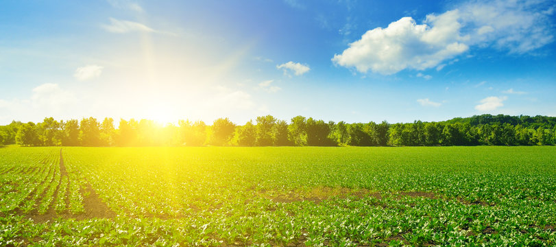 Picturesque green beet field and sun on blue sky. Wide photo.