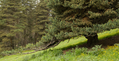 An old confier tree with expressive brancheslean towards the ground. Summer in Caucasus mountains.
