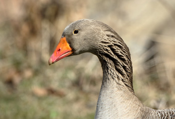 Head and neck close-up of a domestic goose with an orange beak