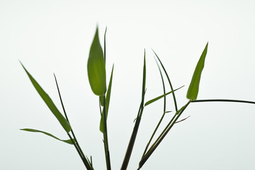 Young leaves and branches of bamboo.