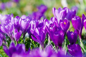 Fototapete - Frühlingserwachen, Ostergruß, Blütenzauber, Alles Liebe, Blütenmeer, Glück, Freude: Wiese mit zarten Krokussen :)