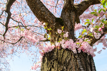 Fototapete - Japanische Kirschblüten, Glückwunsch, Lebensfreude, Glück, Auszeit,  Frühlingserwachen, alles Liebe: Verträumte zarte Kirschblüten vor blauem Frühlingshimmel :)