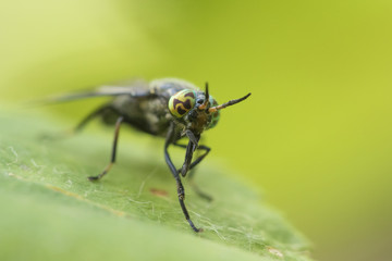Deer fly (Chrysops excitans)