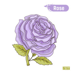 Blossoming blue rose flower