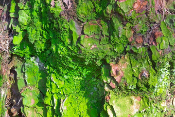 Old abrasive bark of pine with green moss, forest wooden texture. Winter, autumn, summer or spring time in the park.