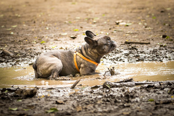 French Bulldog in a puddle of mud