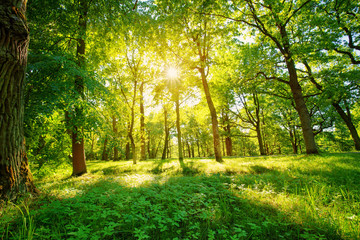 Wall Mural - old oak tree foliage in morning light with sunlight