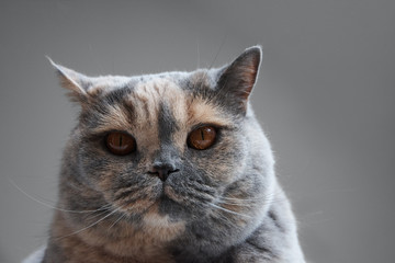 Portrait Of British Cats Head