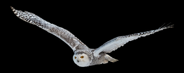 Isolated on black background,  flying beautiful Snowy owl Bubo scandiacus. Magic white owl with black spots and bright yellow eyes flying with fully outstretched wings. Symbol of arctic wildlife.