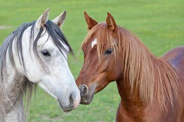Portrait of nice two arabian horses