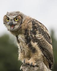 Fototapete - Great Horned Owl Baby
