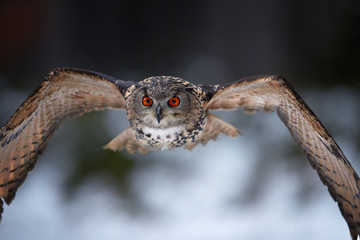 Eagle owl, Bubo bubo, portrait of large owl flying directly at camera with outstretched wings, against winter forest in background. Owl with bright orange eyes in european forest. Czech highlands.