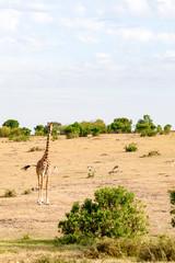 Isolated giraffe near acacia in the park of  mara Kenya