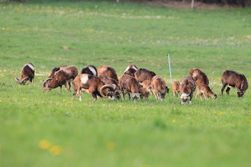 european mouflon ( Ovis orientalis ) on the grassland/wild animal in the nature habitat, Saxony , Germany