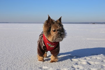 Yorkshire Terrier in bright winter clothes on ice on a sunny day