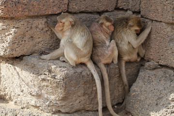 Family of Monkey sitting on stone brick hiding heat from sun light in the summer, Candid animal wildlife picture, group of mammal on historical travel destination in Asia, home decoration wallpaper