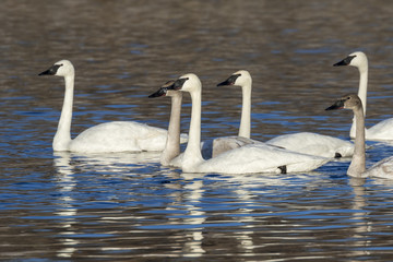 A flock of adult and young trumpeter swans (Cygnus buccinator) in a lake, Saylorville lake, Iowa, USA Wall mural