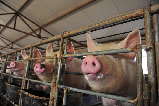 The farm pigs