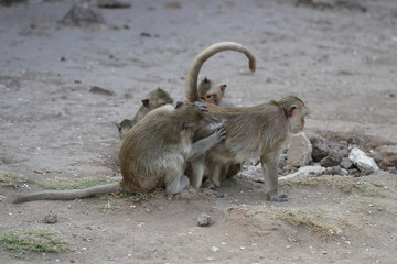 Family Monkey lousing each other, helping, grooming, finding flea, tick, symbol of animal wildlife caring, wallpaper