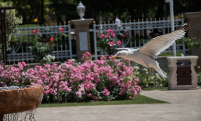 Single seagull in the rose garden