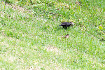 The shiny cowbird parasitizing the rufous collared sparrow