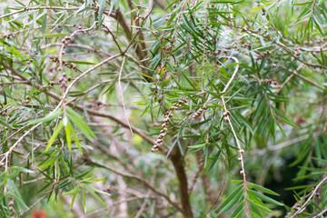 Seeds of the creek or weeping bottlebrush