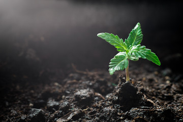 Poster Vegetal A small plant of cannabis seedlings at the stage of vegetation planted in the soil in the sun, a beautiful background, eceptions of cultivation in an indoor marijuana for medical purposes close up