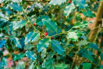 Holly berry leaves in the forest as Christmas decoration
