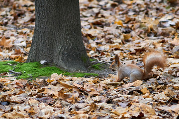 Squirrel in the autumn park on the fallen leaves