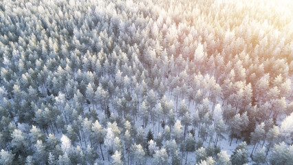 Aerial view of Frozen Pine Forest. Beautiful winter trees